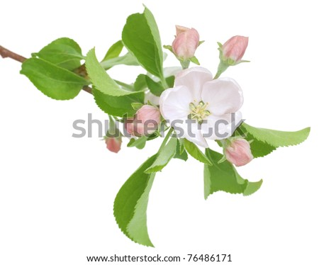 Apple Spring Flowers.Blossom - stock photo