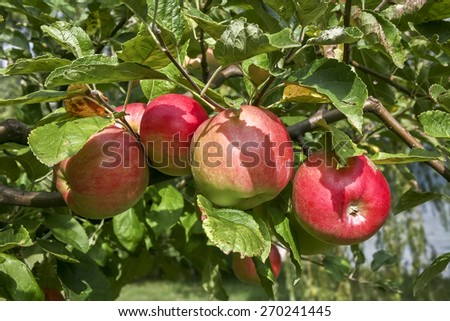 Apple tree - stock photo