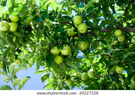 apple tree and green apple - stock photo
