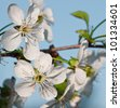 Apple Tree. Apple tree blooms in early May. - stock photo