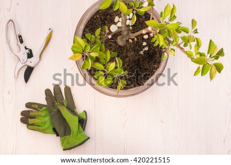 Apple tree blooming  bonsai, green gardeners gloves, and scissors for spring cutting - flat lay