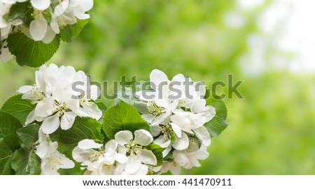 Apple tree blossom background. Blooming apple tree against green bokeh