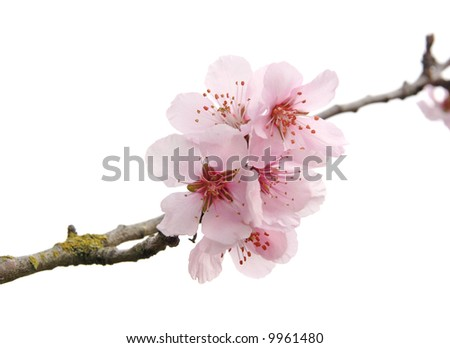 apple tree blossoms on white background