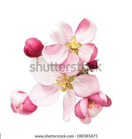 apple tree blossoms. spring flowers isolated on white background - stock photo