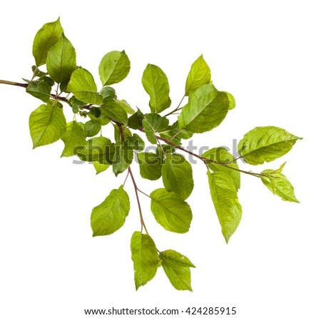 Apple Tree Leaf Stock Images RoyaltyFree ImagesGreen Apple Tree Leaves