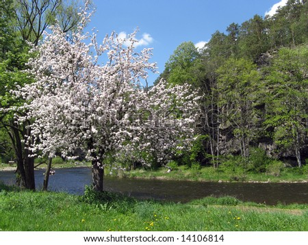 Apple tree clothed in blossoms - stock photo