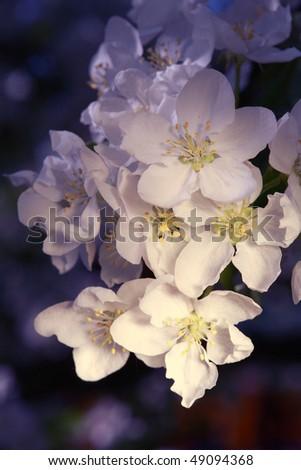 Apple tree flower - stock photo