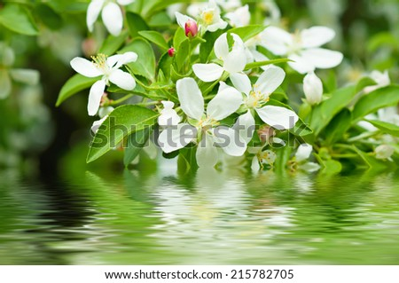 Apple tree flower blossoming at spring time with water reflection, floral background - stock photo