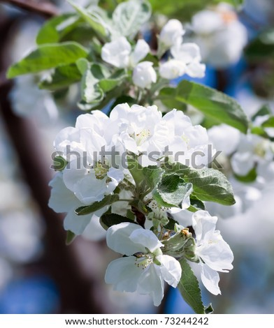 apple-tree flower  Bright white illuminated by a bright ray of the spring sun and blue sky on a back background - stock photo