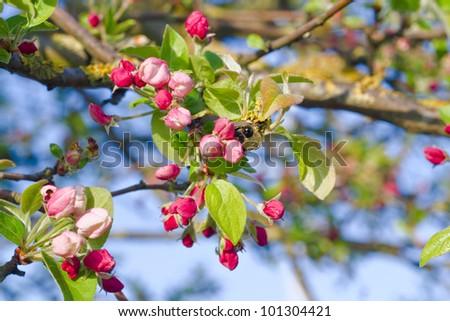 apple tree flowering - stock photo