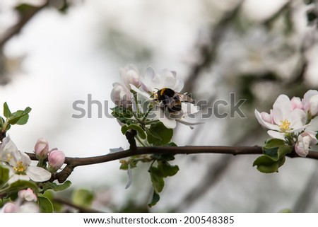 Apple tree flowers and bumble bee - stock photo