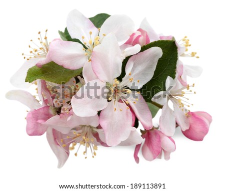 Apple tree flowers isolated on white, spring blossoms  - stock photo