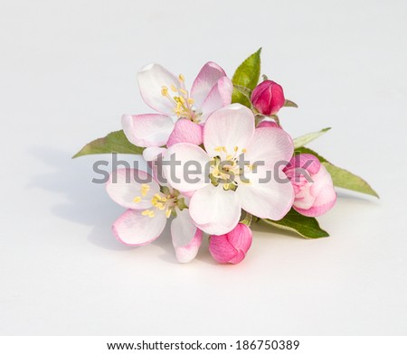Apple tree flowers (Malus domestica) on a white background with clipping path - stock photo