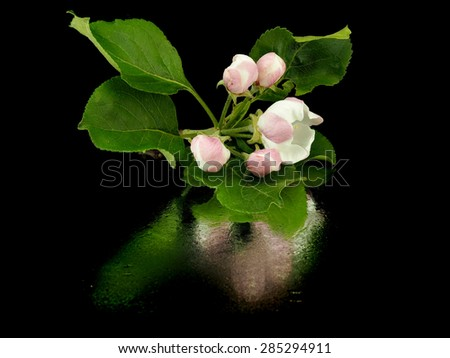 Apple tree flowers on a black background with reflection - stock photo