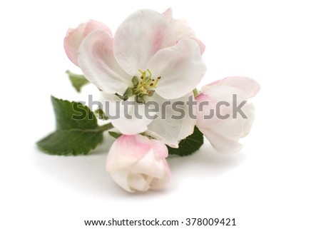 apple-tree flowers on a white background