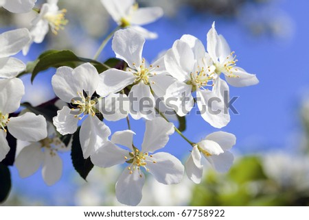 Apple tree flowers on the bright blue sky background - stock photo