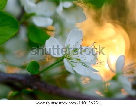 apple tree flowes branch over sunset sky shallow dof - stock photo