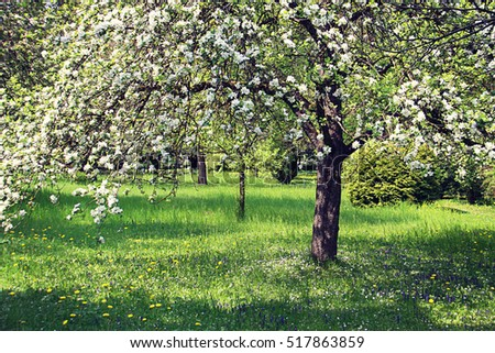 Apple tree full of white blossoms in orchard, floral spring background