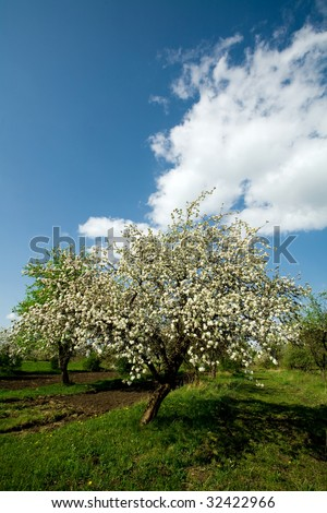Apple tree in blossom by springtime on the cloudy blue sky background