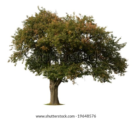 Apple Tree in early Fall isolated against white - stock photo