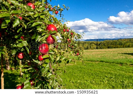Apple tree in nature - stock photo