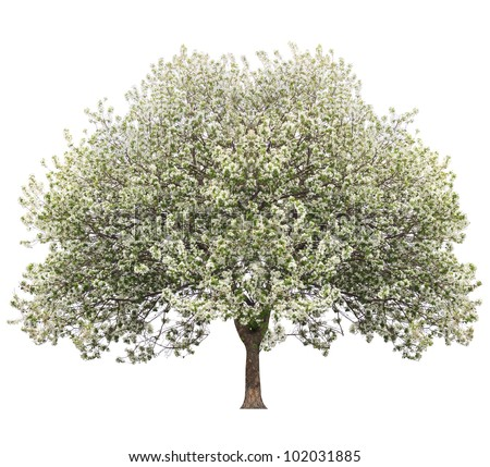 apple tree in spring isolated on white - stock photo