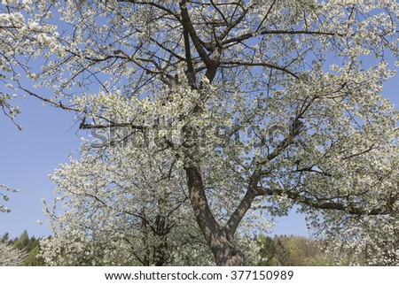 Apple tree in spring, North Rhine-Westphalia, Germany, Europe - stock photo