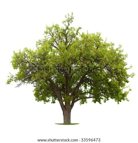 Apple Tree isolated on a white background. Early summer, small apples are already showing - stock photo