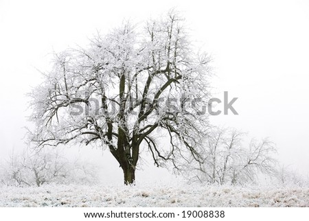 Apple tree on a frozen meadow, with white sky in the background