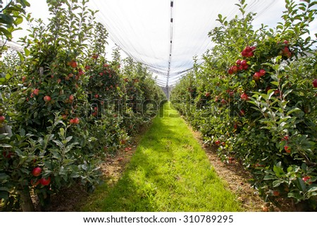 Apple tree rows in protected organic farm, full of ripe red apples - stock photo