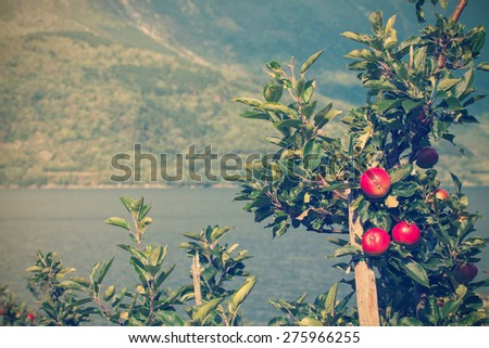 apple tree with apples and a beautiful view in the background. Norway - stock photo