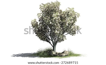 apple tree with blossoms isolated on white background