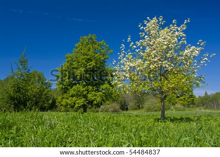 Apple tree with flowers on ble sky - stock photo