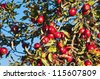 apple tree with red apples on a background of blue sky - stock photo