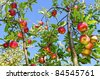 Apple-tree with ripe red apples - stock photo