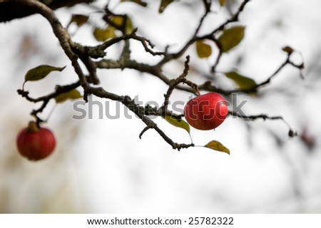 Apple tree with two red apples - stock photo