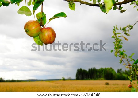 apple tree with two red apples and countryside in distant  background