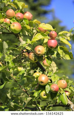 Apple tree with young summer red apples. Beautiful green leaves, branches and fruit.