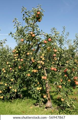 Apple trees - stock photo