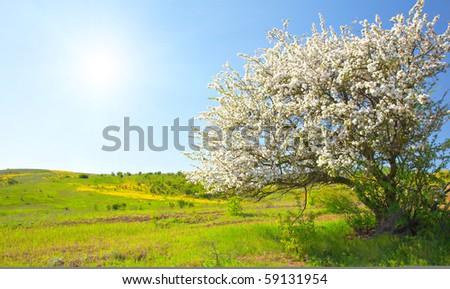 Apple trees blossom under blue sky - stock photo