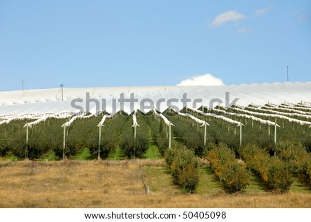 Apple Trees covered with protective material to prevent damage from hailstones