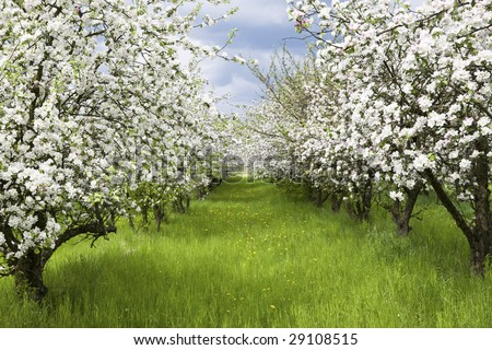 Apple trees during blooming. Spring orchard. Shallow DOF.