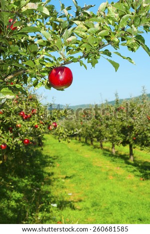 apple trees in a row with ripe fruits - stock photo