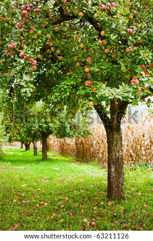 Apple trees in an orchard, with red apples ready for harvest - stock photo