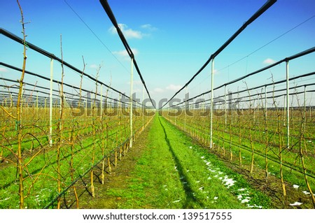 Apple trees in plantation with irrigation system