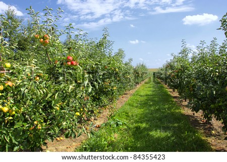 apple trees loaded with apples in an orchard in summer - stock photo