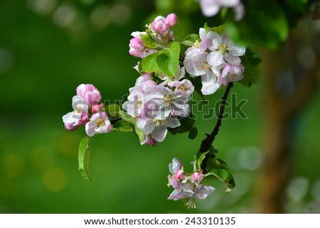 apple white pink flowers - stock photo