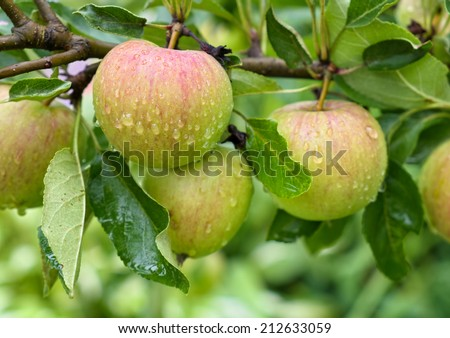 Apples covered with raindrops on a branch. - stock photo