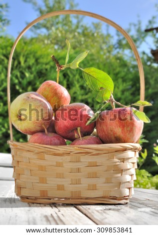 apples from the garden in a basket on table  - stock photo