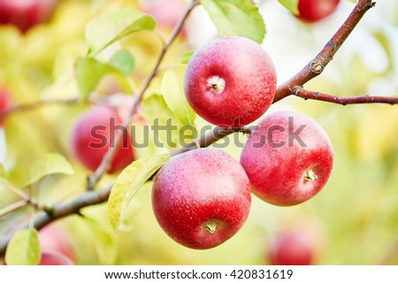 apples fruits in orchard